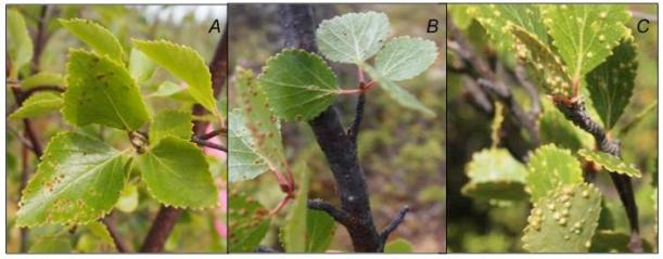 Leaves galled by Vasates olfieldi on A. Betula neoalaskana, B. B. occidentalis, and C. B. glandulosa from permafrost peat plateau sites at Scotty Creek, Northwest Territories.